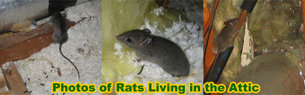 How To Get Rid Of Rats In The Attic