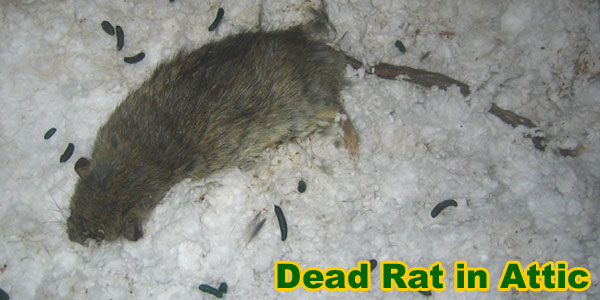 How To Get Rid Of Rats In The Insulation