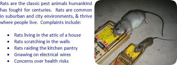 How To Get Rid Of Rats Rat Removal Trapping Prevention
